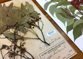 Cook's Plants Among Those to be Digitized at Herbarium
